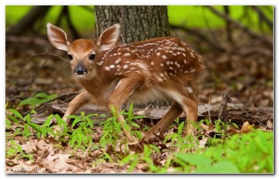 Image Deer Fawn Terrestrial Animal Snout Animal