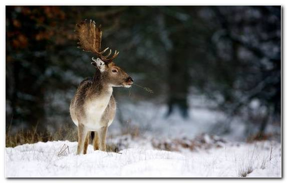 Image Deer Snow Animal White Tailed Deer Reindeer