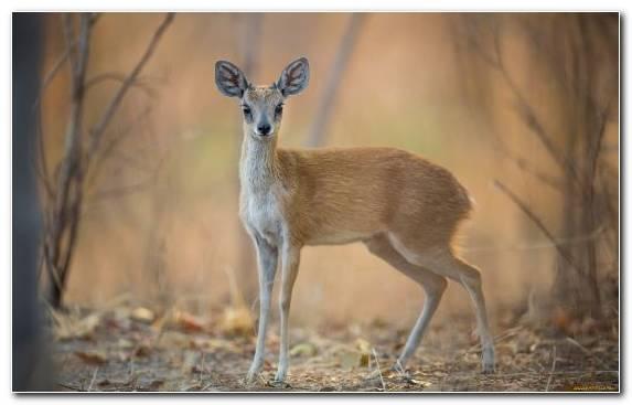 Image Deer Springbok Wildlife Leopard Terrestrial Animal