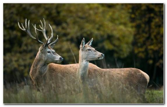Image Deer Terrestrial Animal Antler Elk Grass