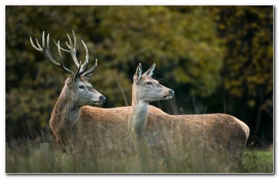 Image Deer Terrestrial Animal Antler Elk Grass
