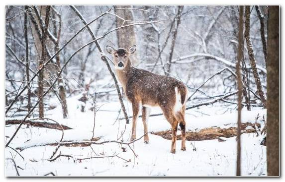 Image Deer White Tailed Deer Red Deer Wildlife Animal