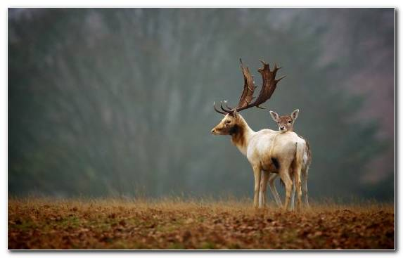 Image Deer Wildlife Elk Grassland Terrestrial Animal
