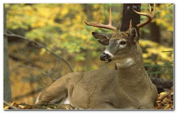 Image Deer Woodland Wildlife Horn Animal
