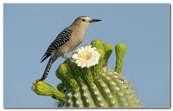 Image Desert Cactus Piciformes Saguaro Wildlife