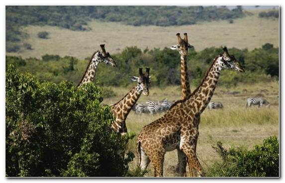 Image Desert Giraffe Grazing Lake Nakuru Wilderness