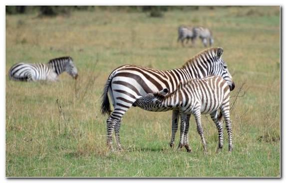 Image Desert Grassland Herd Terrestrial Animal Shrubland