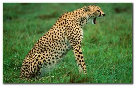 Image Desert Tiger Grazing Leopard Vector Graphics