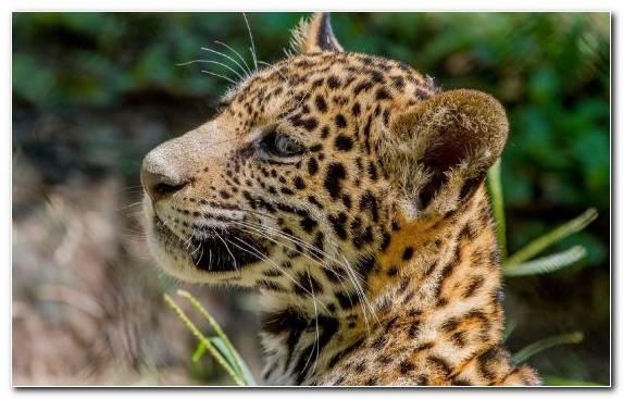 Image desert whiskers big cat tiger wilderness