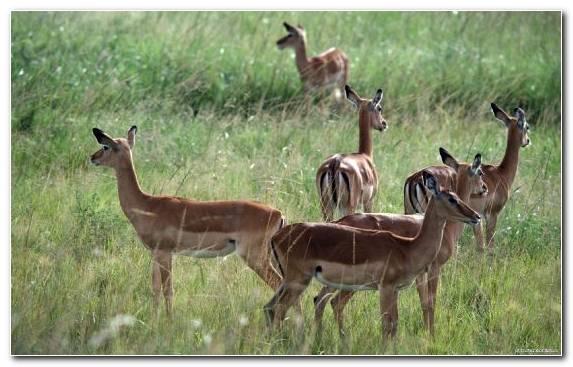 Image Desert Wildlife Grazing Grassland Impala