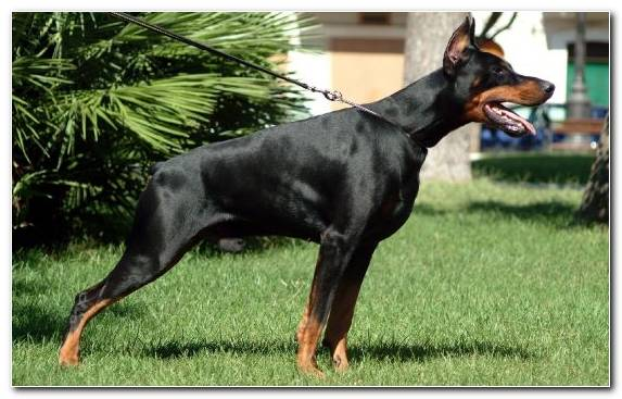 Image Dobermann Breed Guard Dog Dog Breed