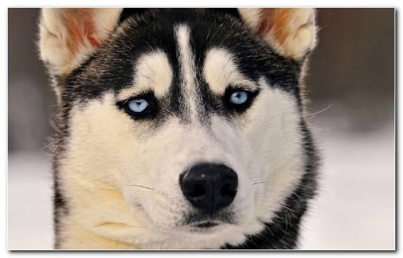 Image Dog Alaskan Husky Seppala Siberian Sleddog Dog Like Mammal Canadian Eskimo Dog