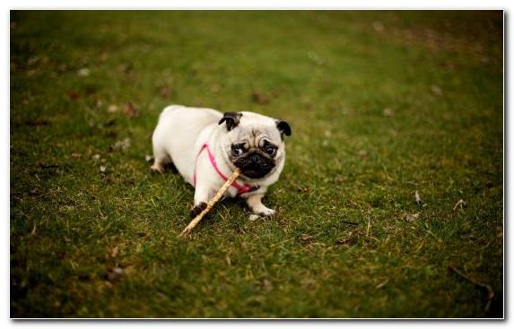 Image dog behavior puppy pug dog breed dog like mammal