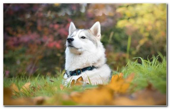 Image Dog Breed Siberian Husky Portrait Dog Snout