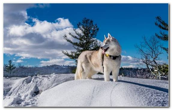 Image Dog Breed Alaskan Husky Dog Like Mammal Siberian Husky Freezing