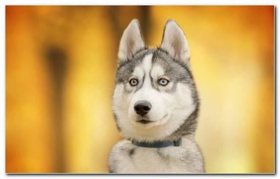 Image Dog Breed Alaskan Malamute Siberian Husky Alaskan Klee Kai Sled Dog