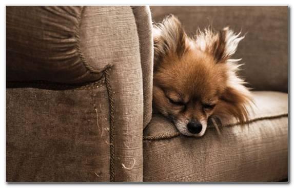 Image Dog Breed Animal Snout Fur German Spitz