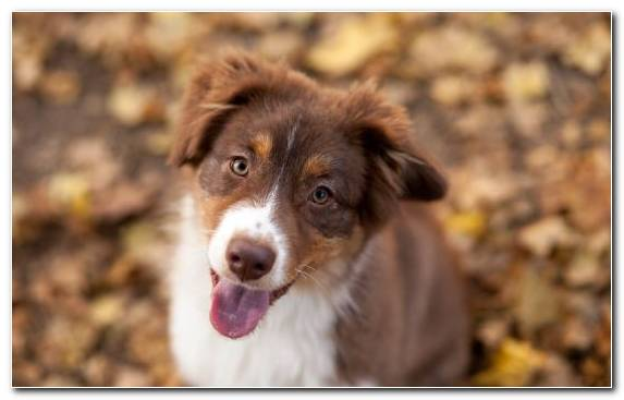 Image Dog Breed Companion Dog Dog Like Mammal Miniature Australian Shepherd Animal