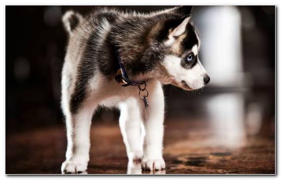 Image Dog Breed Dog Alaskan Malamute Dog Like Mammal Puppy