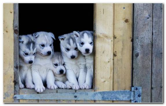 Image Dog Breed Dog Breed Group Pet Sled Dog Sakhalin Husky