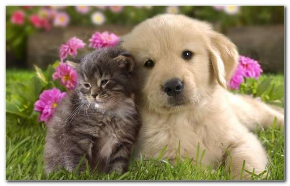 Image Dog Breed Dog Cat Relationship Puppy Puppy Love Kitten