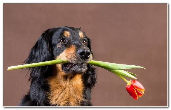 Image Dog Breed Dog Like Mammal Austrian Black And Tan Hound Snout Companion Dog
