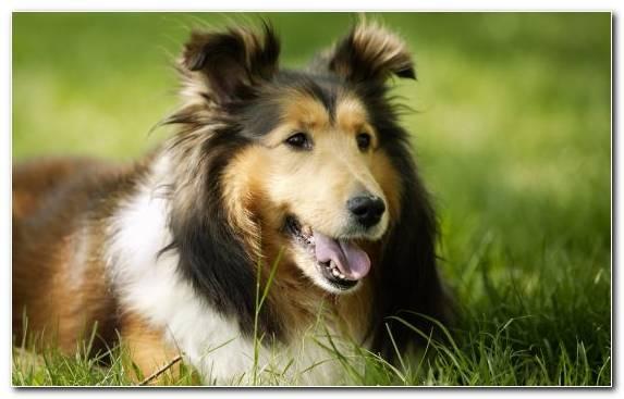 Image Dog Breed Grass Scotch Collie Snout Dog