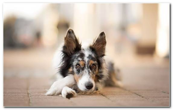 Image Dog Breed Group Bearded Collie Rough Collie The German Shepherd Bernese Mountain Dog