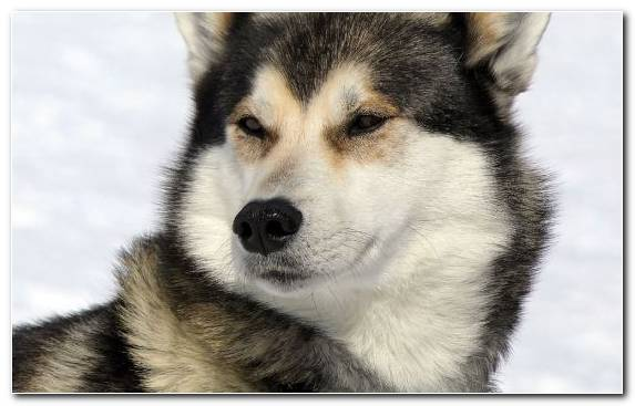 Image Dog Breed Group Dog Food Husky Beagle The Siberian Husky
