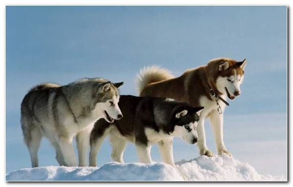 Image Dog Breed Group Greenland Dog Siberian Husky Dog Breed Dog