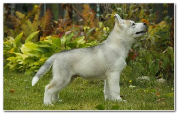 Image Dog Breed Group Saarloos Wolfdog Puppy Dog Breed Dog