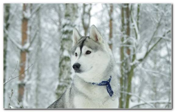 Image Dog Breed Group Snow Husky East Siberian Laika Puppy