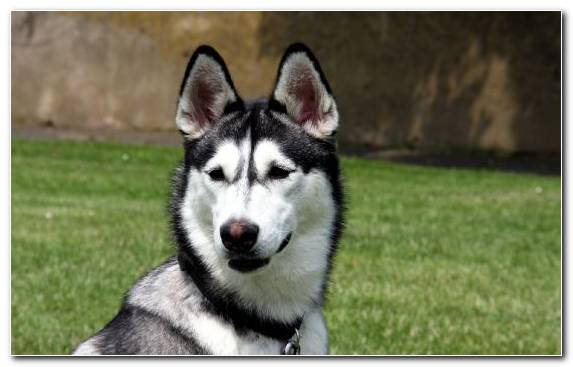 Image Dog Breed Group Tamaskan Dog Dog Like Mammal The Siberian Husky Husky