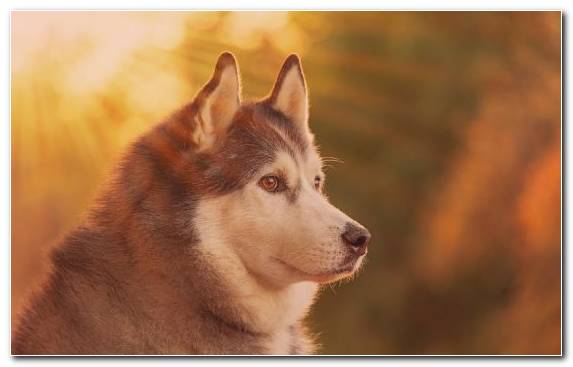 Image Dog Breed Husky Puppy The Siberian Husky Dog Breed Group