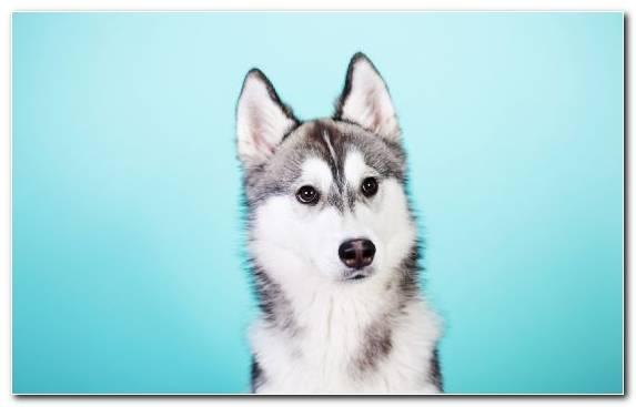 Image dog breed pug dog like mammal cuteness Spiez