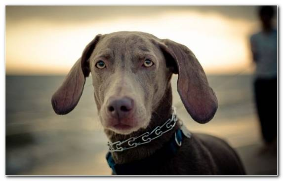 Image Dog Breed Puppy Nose Weimaraner Labrador Retriever