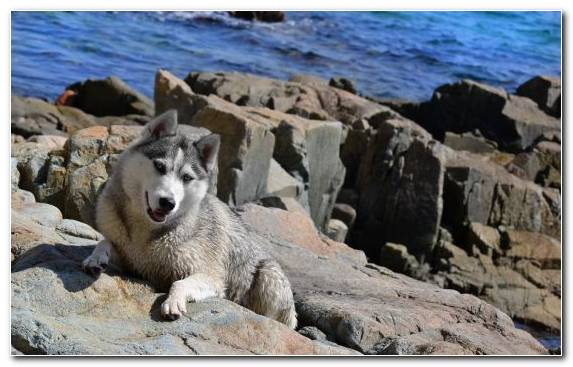 Image Dog Breed Saarloos Wolfdog Rock Czechoslovakian Wolfdog Sakhalin Husky