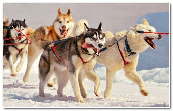 Image Dog Breed Sled Siberian Husky Seppala Siberian Sleddog Puppy