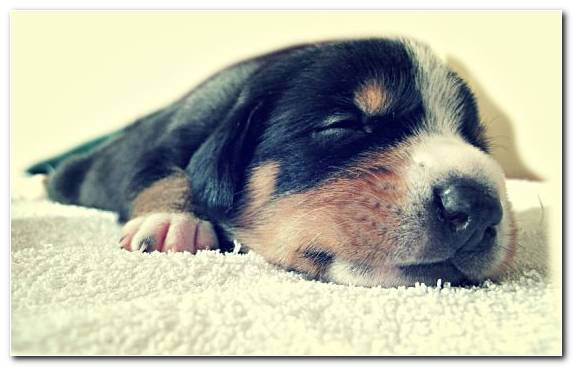 Image Dog Breed Snout Puppy Love Rottweiler Puppy