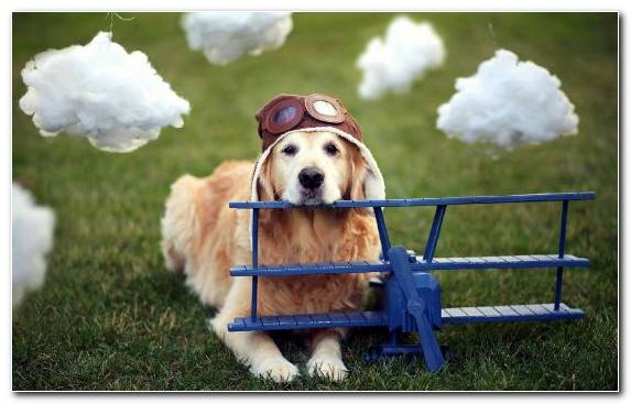 Image Dog Breed Travel Dog Crate Companion Dog Golden Retriever