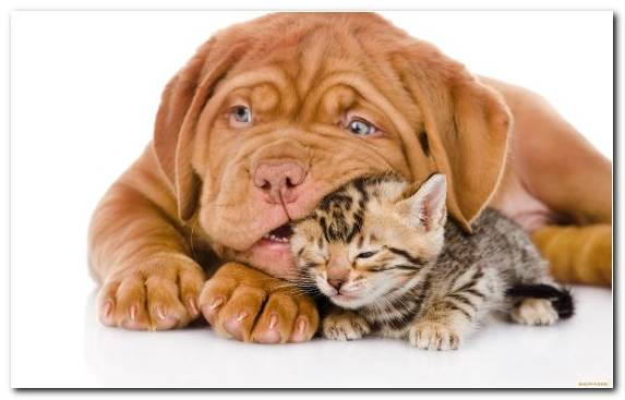 Image Dog Breed Whiskers Kitten Snout Golden Retriever