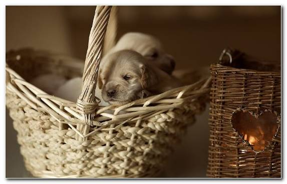 Image Dog Breed Wicker Cuteness Companion Dog Snout