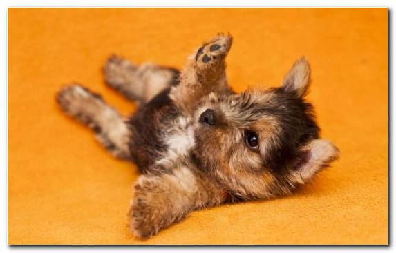 Image Dog Breed Yorkshire Terrier Cuteness Mammal Puppy