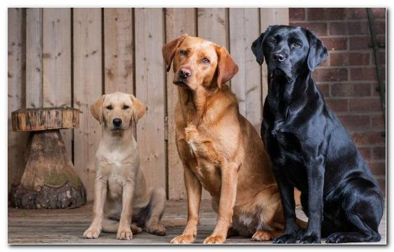 Image Dog Broholmer Sporting Group Labrador Retriever Retriever