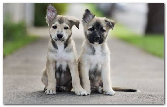 Image Dog Chihuahua Street Dog Pomeranian Saarloos Wolfdog
