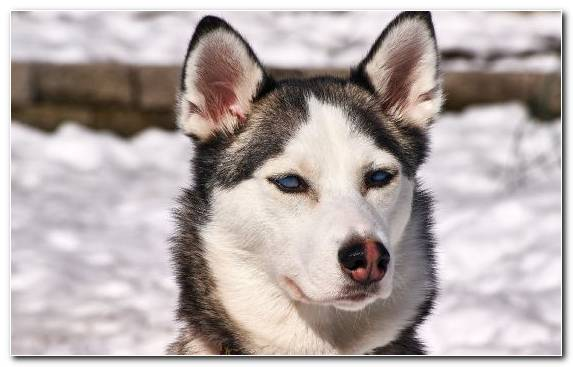 Image Dog Dog Breed Sled Dog West Siberian Laika Alaskan Malamute