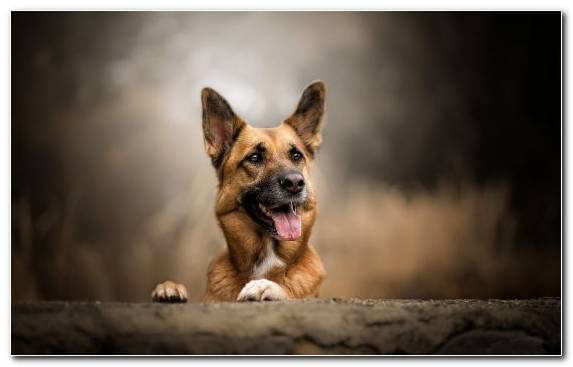 Image Dog Dog Like Mammal Dog Breed Snout The German Shepherd