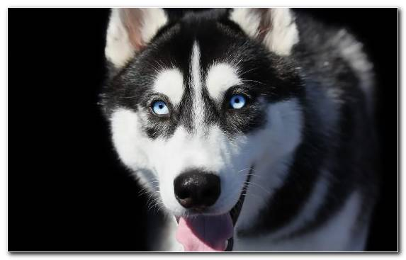 Image Dog Dog Like Mammal The Siberian Husky Snout Miniature Siberian Husky