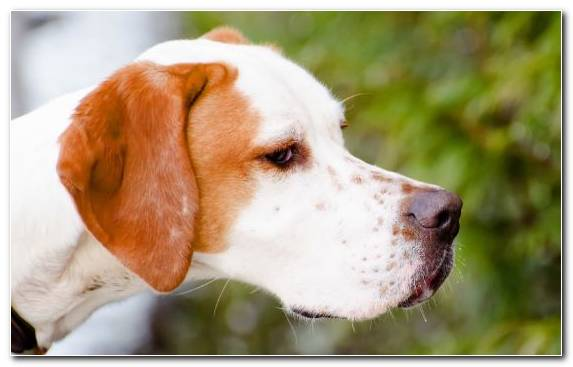 Image Dog English Foxhound Pet Dog Breed Estonian Hound