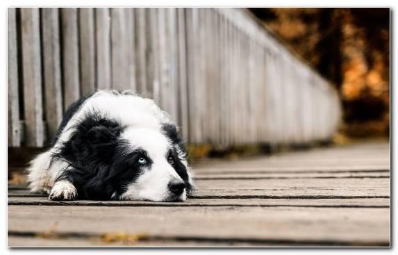 Image Dog Fur Telephone Collie Breed Group Dog